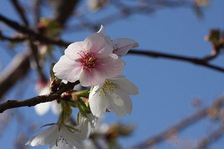 2009.02.21 松田山ハーブガーデン 紅白のさくら