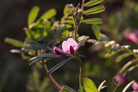 2009.03.14 烏野豌豆-1