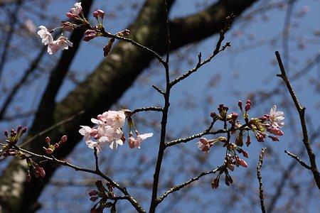 2009.03.20 さくら咲く♪