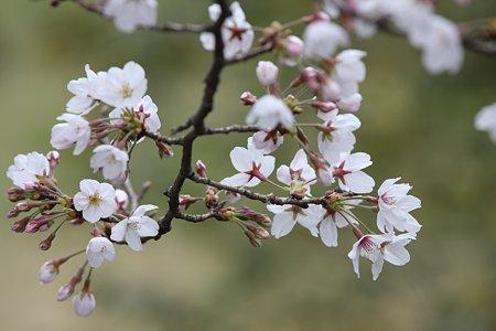 2009.03.28 染井吉野 開花
