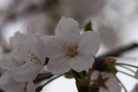2009.04.05 染井吉野-2