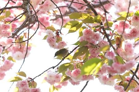 2014.04.25 和泉川 ヤエザクラへメジロ
