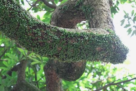 2014.06.17 鎌倉 御霊神社 椨の木