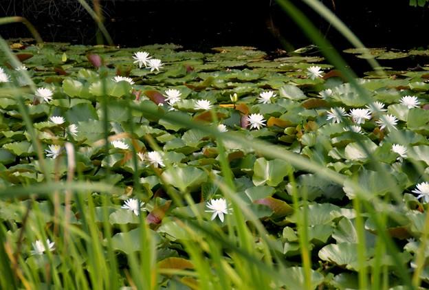 真っ白な睡蓮の池