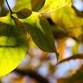 真冬の葉・・