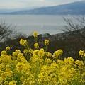 写真: 菜の花~Fantasy・・2