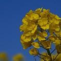 写真: 菜の花~Fantasy・・15