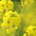 写真: 菜の花~Fantasy・・20