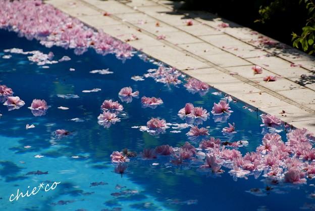 八重桜の花筏・・