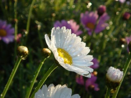 花しずく  白いマーガレット