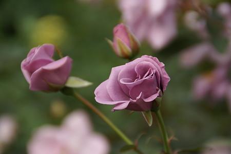 ブルーな薔薇・・・秋はひときわ美しい・・・