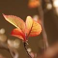 姫シャラの葉っぱ~♪