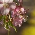 写真: 菜の花の黄色と・・三浦の河津桜~♪