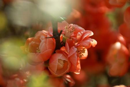 木瓜の花もらんまん~♪