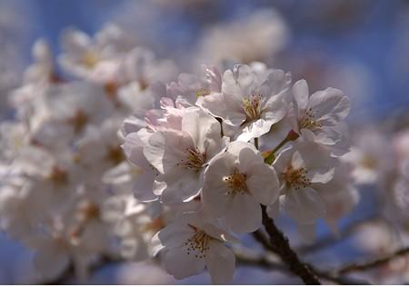 桜爛漫~♪