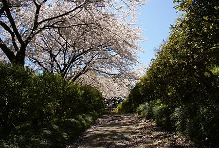 桜の径・・