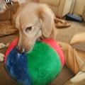 Photos: やたらとこのボールが気に入り口に咥えっぱなし