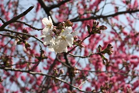 桜さいてた