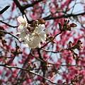 Photos: 桜さいてた