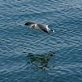 写真: 松島湾のカモメ20071020