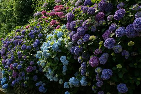 鎌倉の紫陽花0614ta