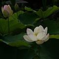 写真: 白い蓮の花本覚寺0719ts