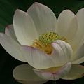 写真: 白い蓮の花本覚寺0719te
