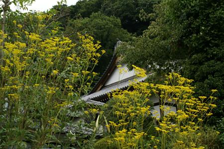 秋の花オミナエシ来迎寺