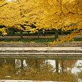 Photos: 銀杏並木1115b