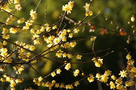 輝く蝋梅の花。