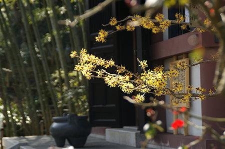 マンサク咲く、経蔵前(2/14)。
