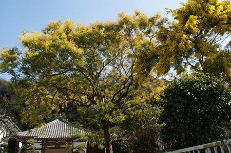 ミモザの大木0221a