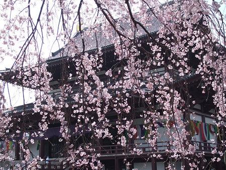 枝垂桜増上寺0324p