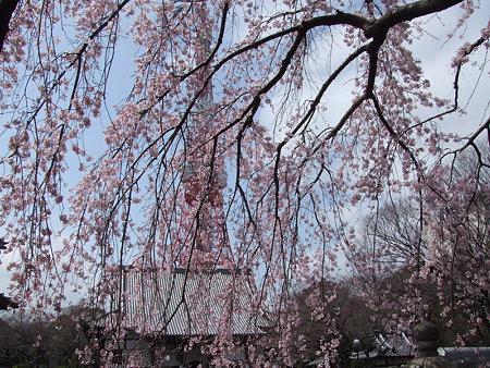 枝垂桜増上寺0324w