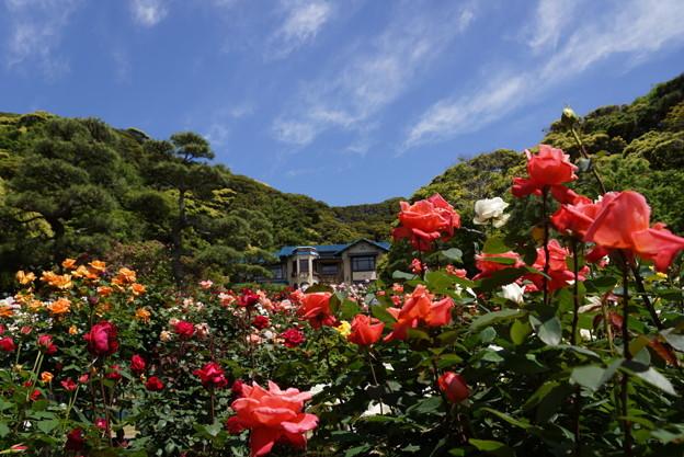 春バラまつり2014、鎌倉文学館b!