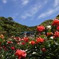 写真: 春バラまつり2014、鎌倉文学館b!