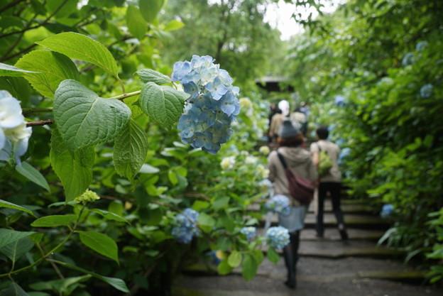 写真: ヒメアジサイの咲く参道!140607