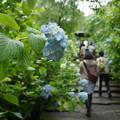 Photos: ヒメアジサイの咲く参道!140607