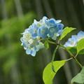 写真: 紫陽花と竹林!140607