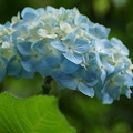 写真: 淡いブルーのヒメアジサイ!140607