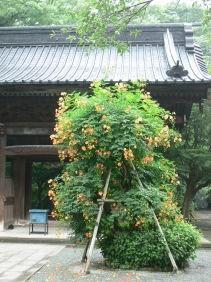 妙本寺ノウゼンカズラ0707w