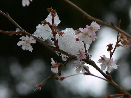 十月桜と雪2006a