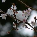 Photos: 十月桜と雪2006a
