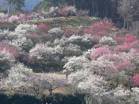 梅の公園1、吉野梅郷2008!