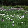 御庭の菖蒲