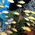 ボホール島 メラネシアンアンティアス(♀)