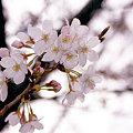 Photos: 春のささやき