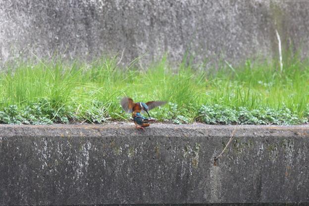 写真: 090328カワセミの交尾(5/10)