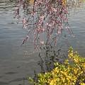 写真: 090404枝垂桜