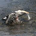 写真: 090505ハトの水浴び